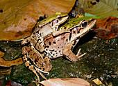 Mating Amazonian frogs,Rana palmipes