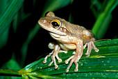 Cuban tree frog (Hyla septentrionalis) on leaf