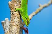 Madagascar giant day gecko on a tree
