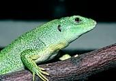 Balken green lizard