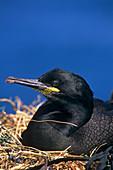 Shag on a nest