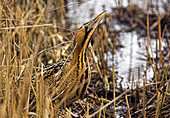 Great bittern in reed bed