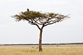 Nubian vulture in a tree