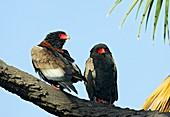 Bateleur eagle pair