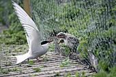 Arctic tern feeding chicks