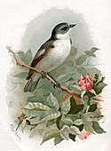Pied flycatcher,historical artwork