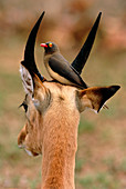 Red-billed oxpecker on an impala