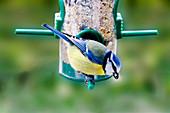 Blue tit on a feeder