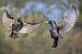 European starlings fighting