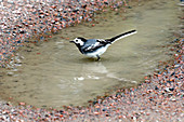Pied wagtail bathing