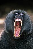 Yawning olive baboon