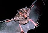 Fruit-eating bat
