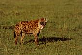 Spotted hyena (Crocuta crocuta) baring its teeth