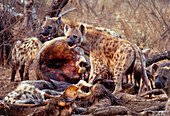 Spotted hyenas feeding