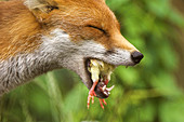 Red fox eating a chick