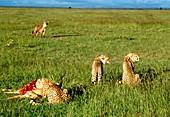 Cheetah (Acinonyx jubatus) feeding on a kill