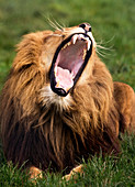 Yawning male lion