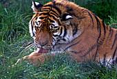 Tiger grooming
