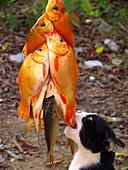 Cat biting a catch of goldfish
