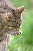 British wild cat licking its paw