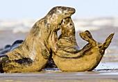 Grey seal aggression