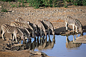 Burchell's zebra at a waterhole