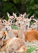 Herd of red deer does
