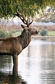 Red deer stag in a lake