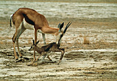 Springbuck mother and young