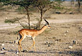 Male gerenuk gazelle