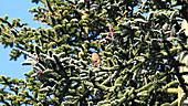 Nordmann fir flowers