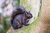 Black squirrel in a tree