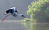 Asian openbill stork in flight