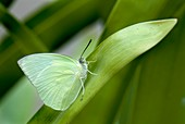 Common emigrant butterfly,male
