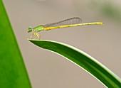 Coromandel marsh dart damselfly