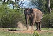 Asian elephant dust bathing