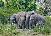 Asian elephants at a mineral lick