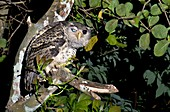Forest eagle-owl