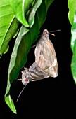 Giant redeye butterflies mating