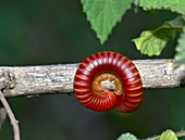 Millipede on a twig