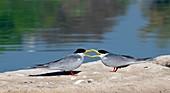 Indian river terns greeting
