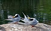 Indian river terns preening