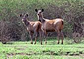 Sambar deer with young