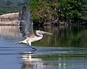 Spot-billed pelican taking off