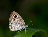 Common four-ring butterfly