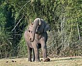 Asian bull elephant displaying