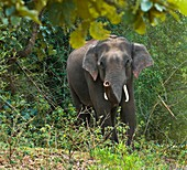 Asian bull elephant in musth