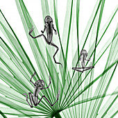 Frogs on palm leaves,X-ray