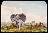 African elephant,19th century