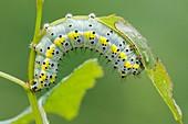 Figure of Eight caterpillar